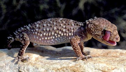 Gecko (Gunther Deichmann Photography)