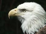 d_eagle_2[1]